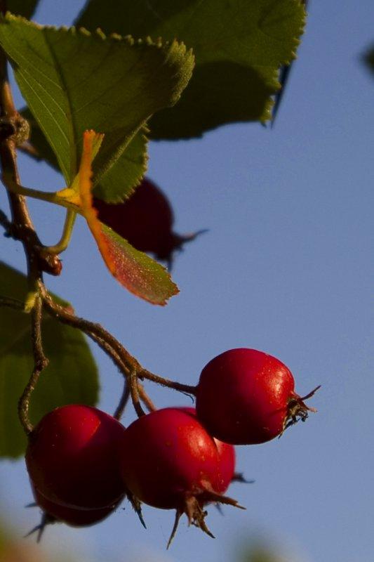 Thornberry Tree