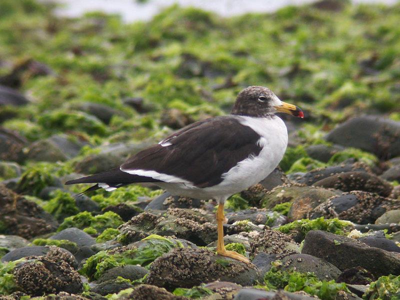 Band-tailed Gull8