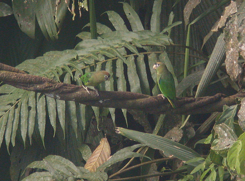 Scarlet-shouldered Parrotlet