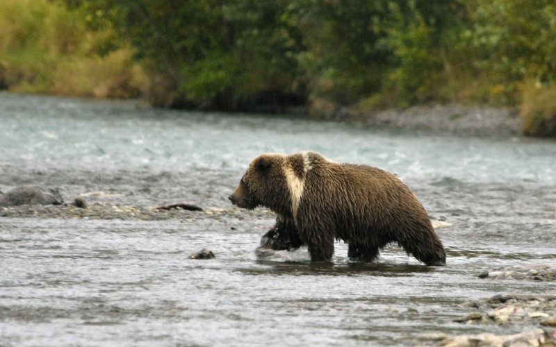 3 year old cub playing in the river.