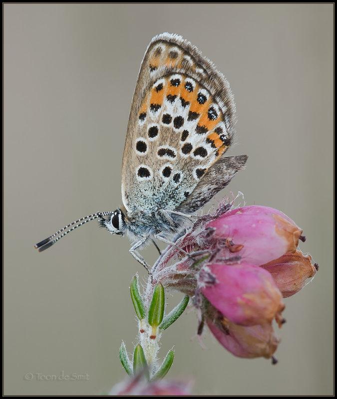 Silver-studded Blue / Heideblauwtje