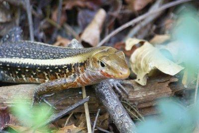 Plated Lizard spp