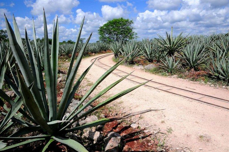 Agave Fields, Sisal Hacienda