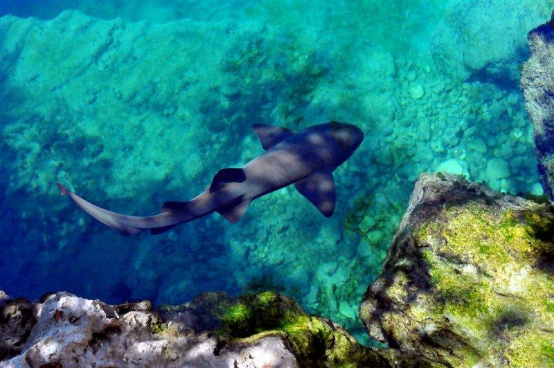 Nurse Shark, Morello Reef