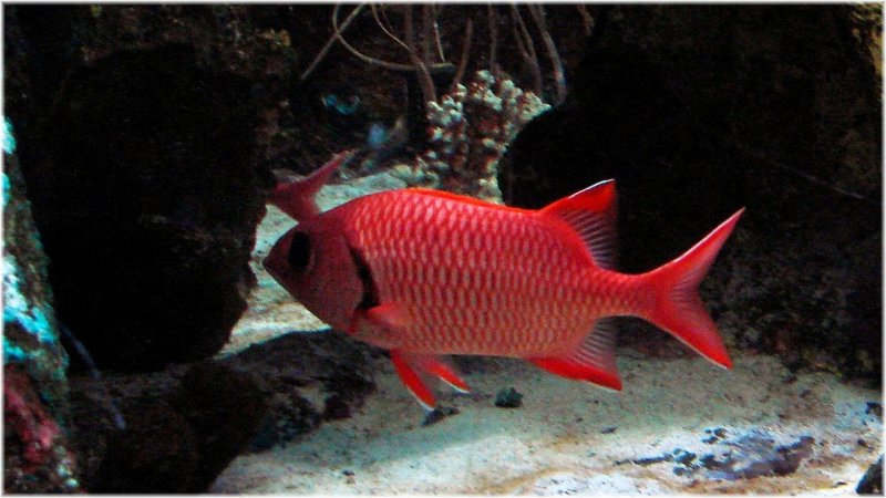 Blackbar Soldierfish.jpg
