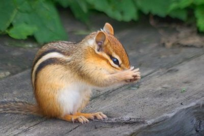 Praying Chipmunk 15820