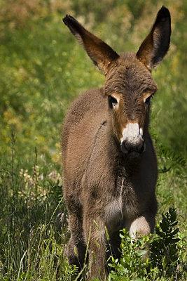 07-11-08 Custer  Mule baby 073.jpg