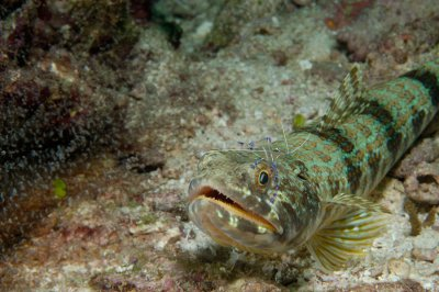 Sand Diver with a Pederson Cleaning Shrimp