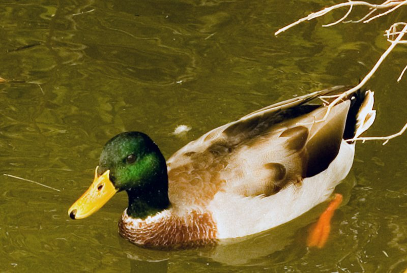 Maryland Quackers