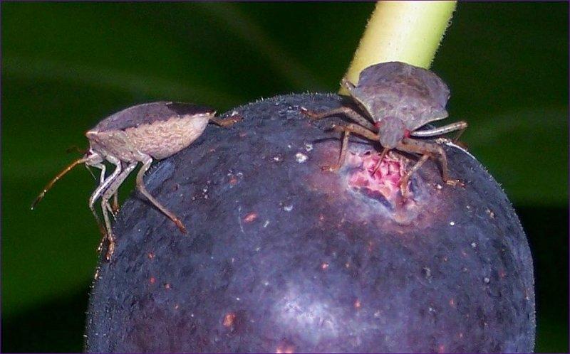 Mmmm Figs