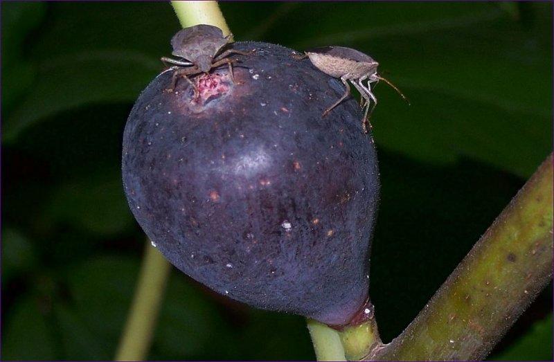 Mmmm Figs 2