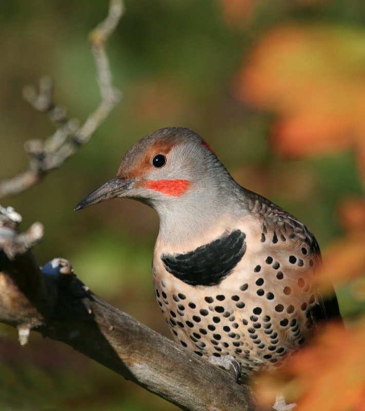 Northern Flicker (Colaptes auratus)Red Shafted Intergrade