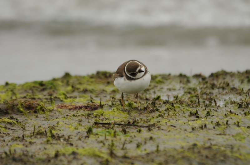 Semipalmated Plover with PEFA overhead