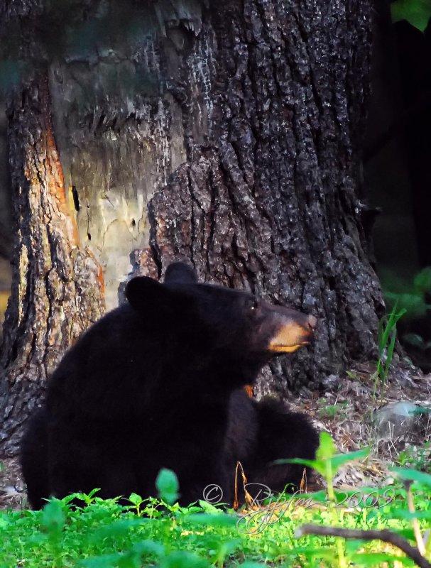 Black Bear  Mother Looking at Cub Big Meadows  NP Va