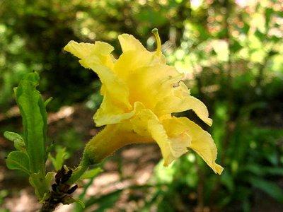 Girard Yellow Pom Pom