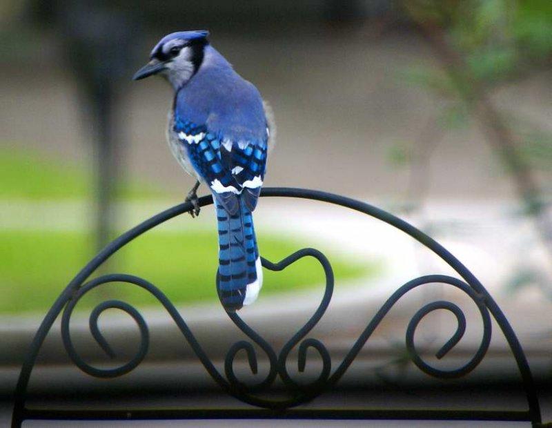 Blue Jay Yarn