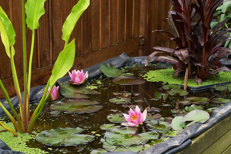 Выращивание водных лилий 63