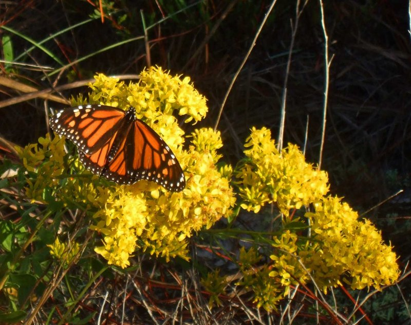 Monarch fueling up