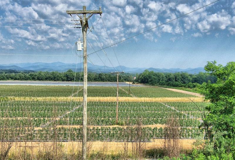 DSCF4937 Western Carolina Tomato Field