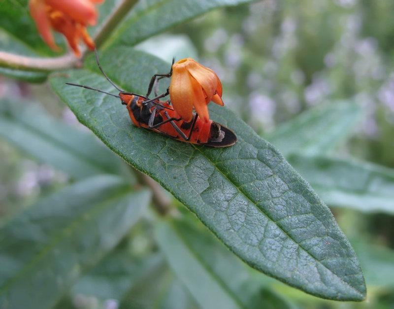 IMG_5971 Milkweed Bug on Asclepias High