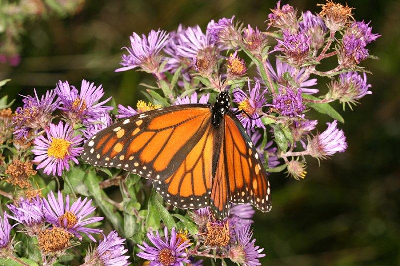 Monarch (Danaus plexippus) on New England Aster