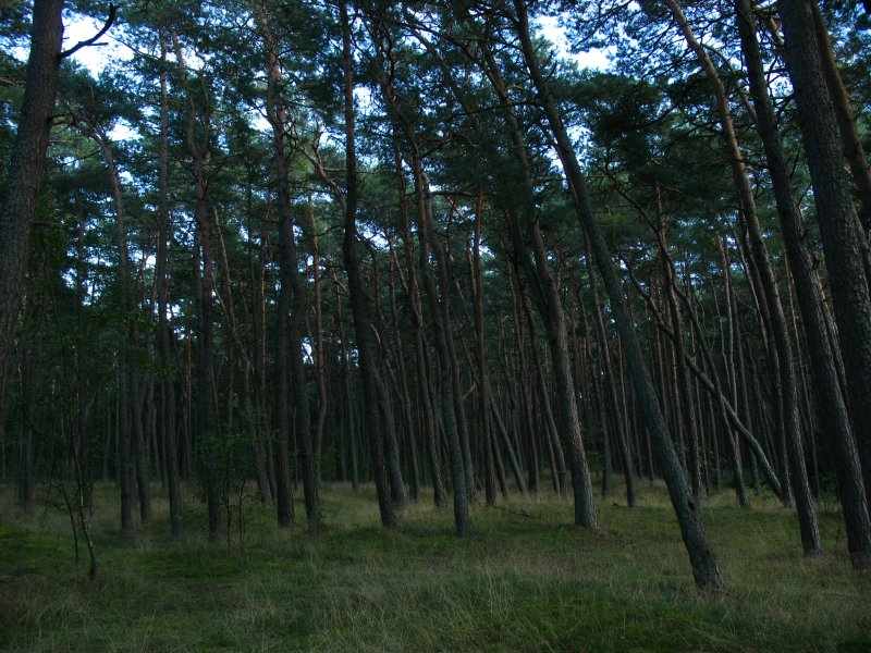 Slanted, windblown pines
