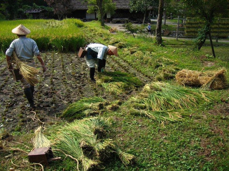 Harvesting rice in Hida Folk Village