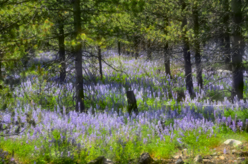 Forests carpeted with Lupine