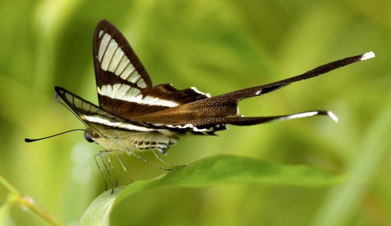 White Dragontail ¿P»ñ½º Lamproptera curius