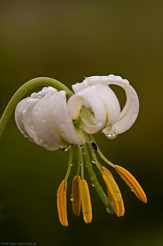 Martagon Lily after rain