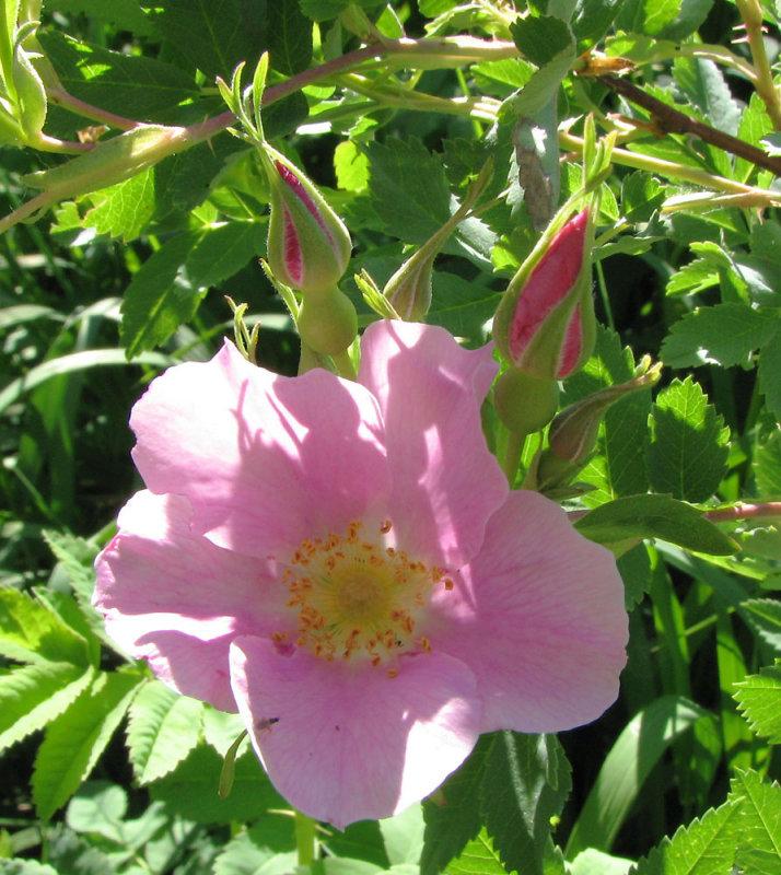 Wild Rose at Home smallfile IMG_1174.jpg