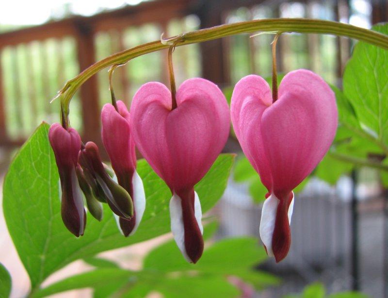 Bleeding Heart present from DeAnn Green to Deborah IMG_1150.jpg