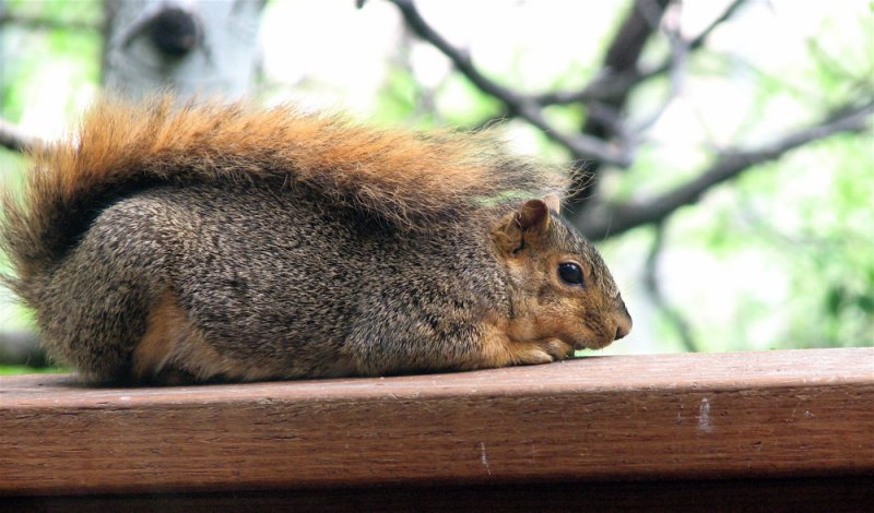 Fox Squirrel Canon S3IS IMG_1153.jpg