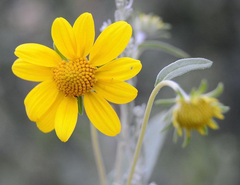 Gelbe Bergblumen _DSC6554.jpg