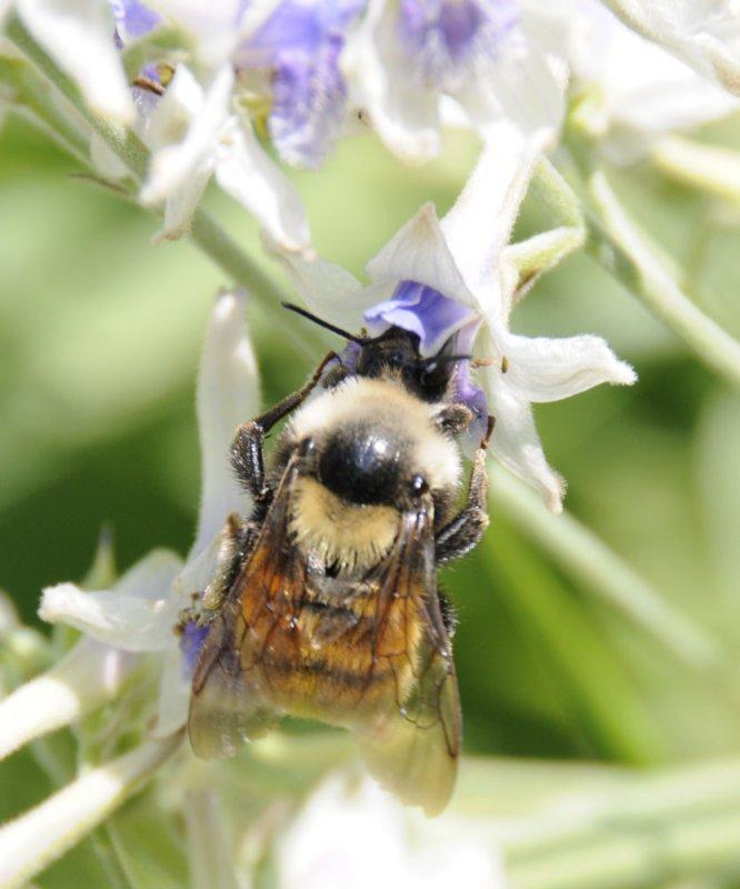 bumble bee on larkspur _DSC6738.jpg