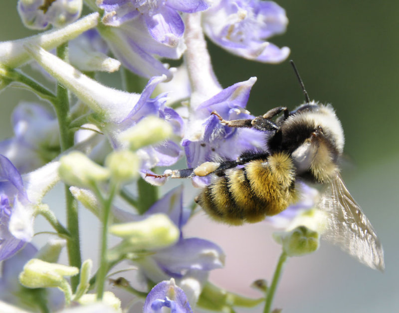 bumble bee on larkspur _DSC6763.jpg