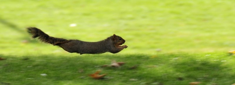 fox squirrel in a chase on ISUs quad _DSC4609.JPG