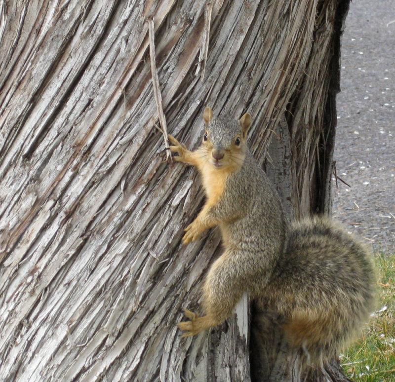 Squirrel at R8 parking lot ISU IMG_1517.jpg