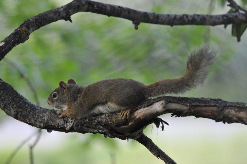 Baby Red Squirrel _DSC4965.jpg