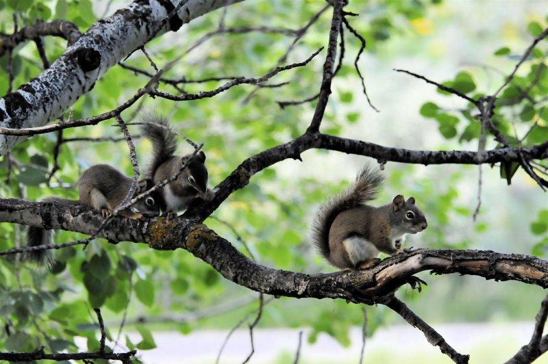 Three Baby Red Squirrels _DSC4968.jpg