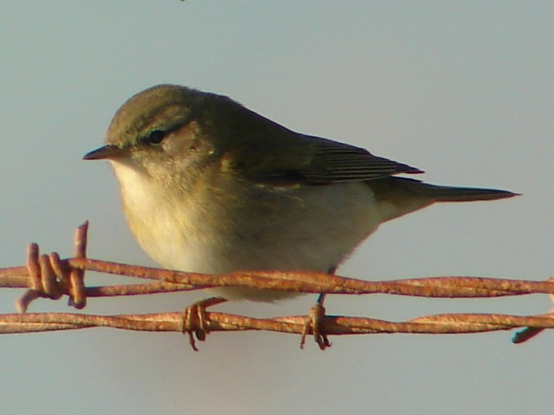 Felosa-musical // Willow Warbler (Phylloscopus trochilus)