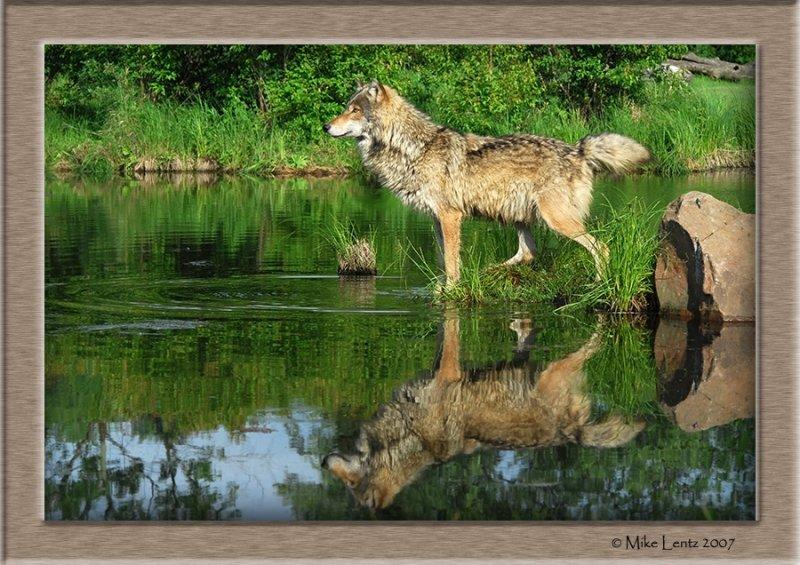 Wolf pt reflecting