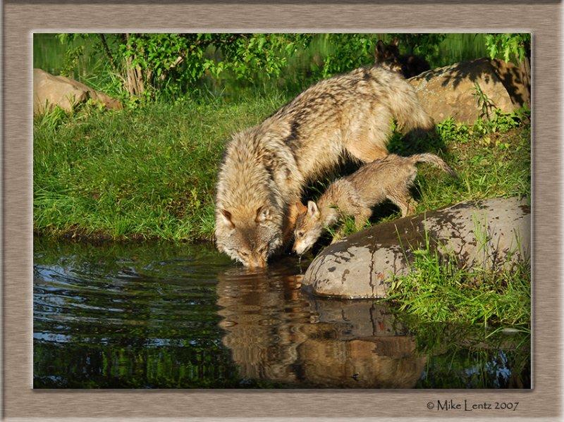 Timberwolves drinking