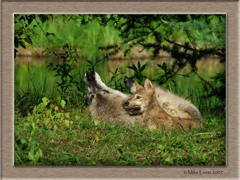 Timberwolf pup bite
