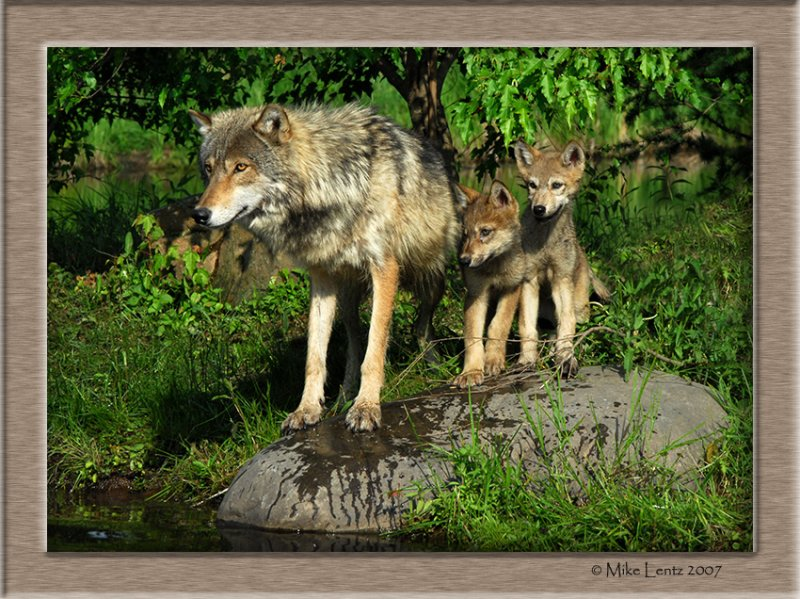 Wolf family stare