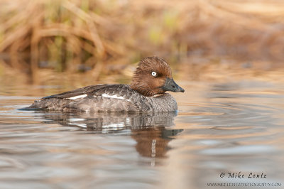 Common Goldeneye Duck  (hen)