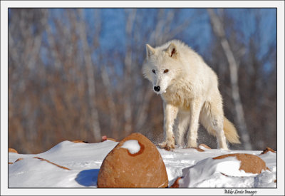 Arctic Wolf at the overpass