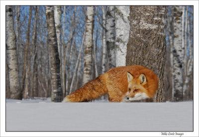 Fox doubling back