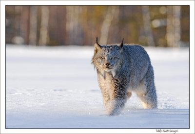 Lynx prowl