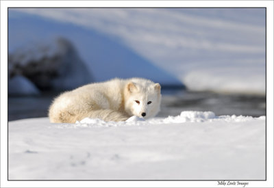 Arctic-Fox-resting-near-river